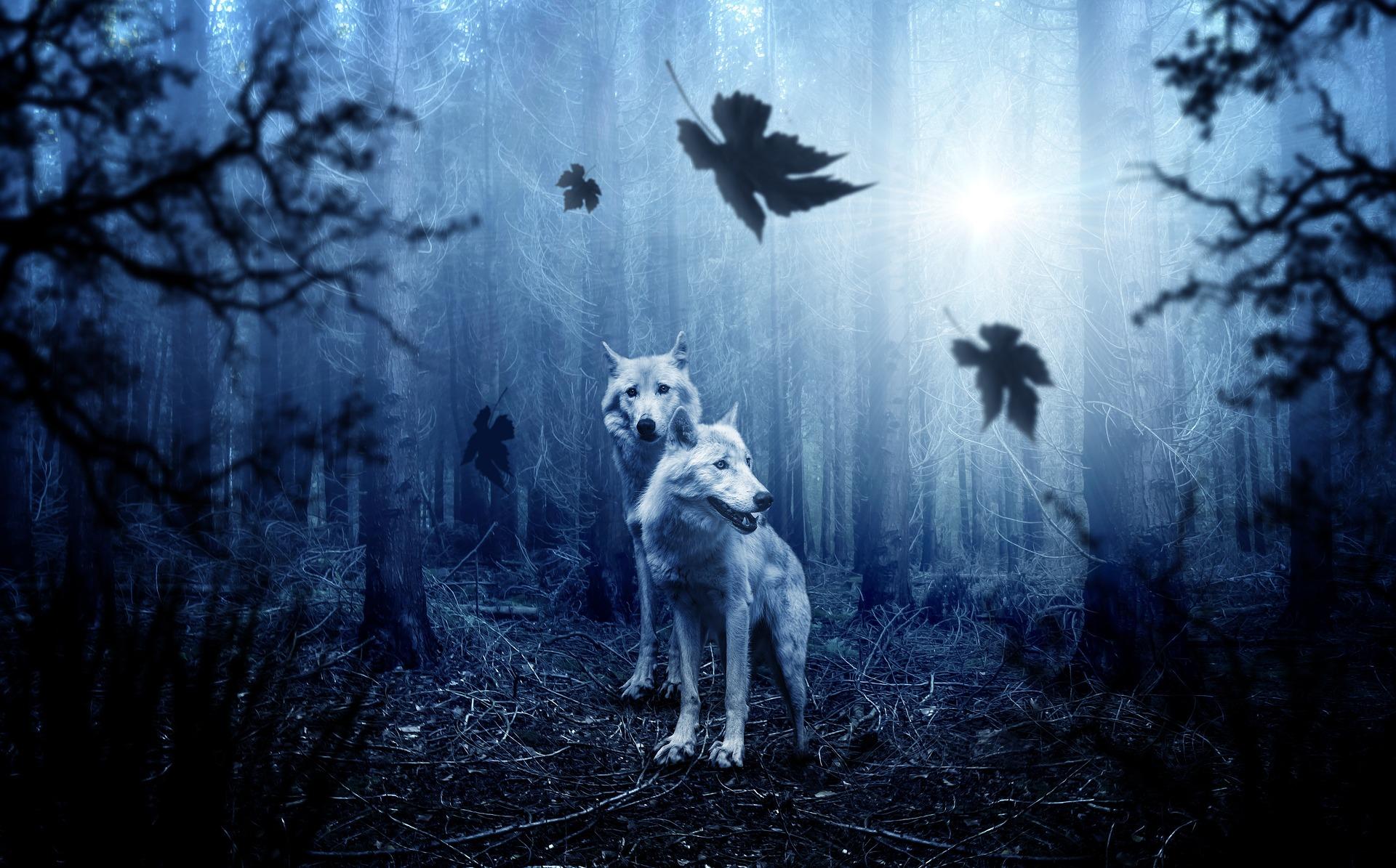 zwei Wölfe im Wald