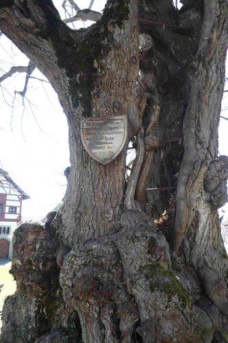 Insel Reichenau, Gerichtslinde
